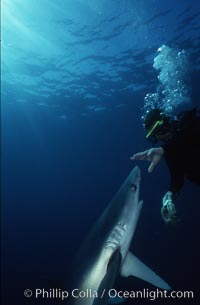 Blue shark. San Diego, California, USA, Prionace glauca, natural history stock photograph, photo id 00373