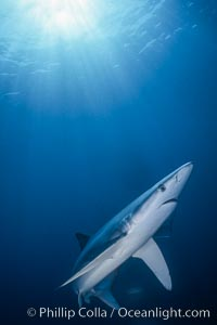 Blue shark underwater in the open ocean, Prionace glauca, San Diego, California