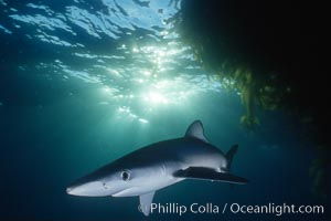 Blue shark swimming near kelp paddy, sunset, Baja California, Prionace glauca