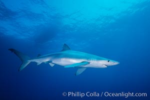 Blue shark in the open ocean, Baja California, Prionace glauca
