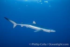 Juvenile blue shark in the open ocean, Prionace glauca, San Diego, California