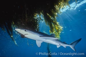 Blue shark underneath offshore drift kelp, open ocean, Prionace glauca, Macrocystis pyrifera, San Diego, California