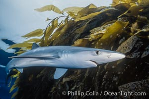 Blue shark and drift kelp. San Diego, California, USA, Prionace glauca, natural history stock photograph, photo id 01920