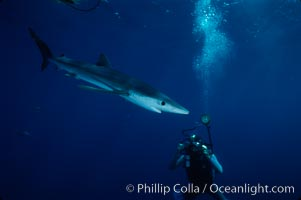 Blue shark. San Diego, California, USA, Prionace glauca, natural history stock photograph, photo id 01974