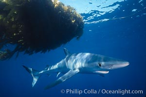Blue shark, open ocean. San Diego, California, USA, Prionace glauca, natural history stock photograph, photo id 02291