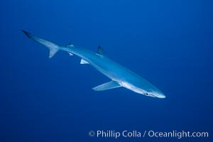 Blue shark, open ocean. San Diego, California, USA, Prionace glauca, natural history stock photograph, photo id 02293