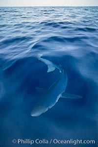 Image 03295, Blue shark, open ocean. San Diego, California, USA, Prionace glauca, Phillip Colla, all rights reserved worldwide. Keywords: animal, animalia, blue shark, california, carcharhinidae, carcharhiniformes, chondrichthyes, chordata, creature, danger, elasmobranch, elasmobranchii, fear, glauca, great blue shark, jaws, marine, nature, ocean, oceans, open ocean, outdoors, outside, pacific, pacific ocean, pelagic, predator, prionace, prionace glauca, requin bleu, risk, san diego, sea, shark, submarine, underwater, usa, vertebrata, wildlife.