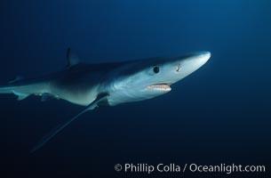 Blue shark, Baja California., Prionace glauca, natural history stock photograph, photo id 04842