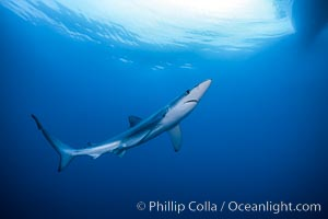 Blue shark swimming in the open ocean, Prionace glauca