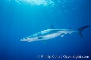 Blue shark, Baja California., Prionace glauca, natural history stock photograph, photo id 04852
