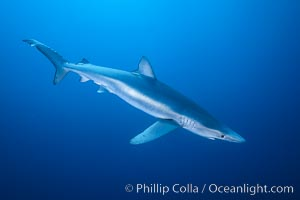 Blue shark, Baja California., Prionace glauca, natural history stock photograph, photo id 04853