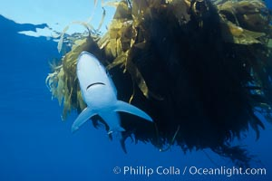 Blue shark and offshore drift kelp paddy, open ocean, Prionace glauca