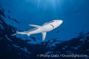 Juvenile blue shark in the open ocean, Prionace glauca