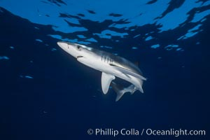 Juvenile blue shark in the open ocean, Prionace glauca