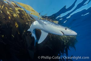 Blue shark and offshore drift kelp paddy, open ocean. Baja California, Mexico, Prionace glauca, natural history stock photograph, photo id 04879