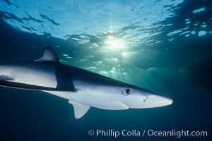 Blue shark, Baja California., Prionace glauca, natural history stock photograph, photo id 04880