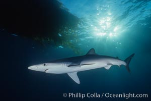 Blue shark, Baja California., Prionace glauca, natural history stock photograph, photo id 04881