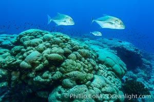Blue-spotted jacks and coral reef, Clipperton Island. Clipperton Island, France, Porites lobata, natural history stock photograph, photo id 32976