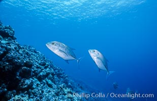 Blue-spotted jacks at Rose Atoll, American Samoa, Rose Atoll National Wildlife Refuge