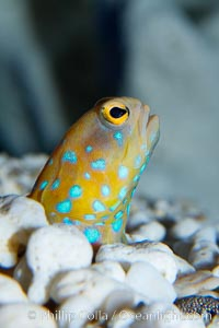 Blue-spotted jawfish, Opistognathus rosenblatti
