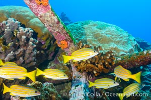 Blue-striped Snapper and old anchor embedded in coral reef, Clipperton Island