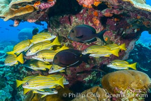 Blue-striped Snapper over coral reef, Lutjanus kasmira, Clipperton Island. Clipperton Island, France, natural history stock photograph, photo id 32970