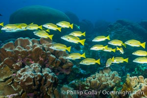 Blue-striped Snapper over coral reef, Lutjanus kasmira, Clipperton Island. Clipperton Island, France, natural history stock photograph, photo id 32981