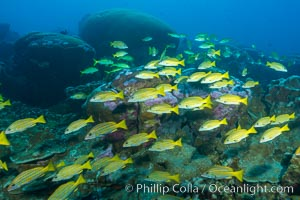 Blue-striped Snapper over coral reef, Lutjanus kasmira, Clipperton Island. Clipperton Island, France, natural history stock photograph, photo id 33028