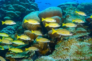 Blue-striped Snapper over coral reef, Lutjanus kasmira, Clipperton Island. France, natural history stock photograph, photo id 33040