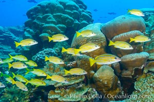 Blue-striped Snapper over coral reef, Lutjanus kasmira, Clipperton Island. France, natural history stock photograph, photo id 33044