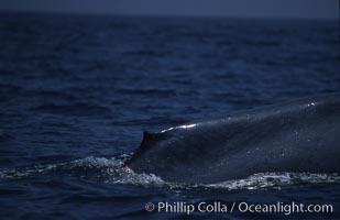 Blue whale, dorsal fin, Baja California, Balaenoptera musculus