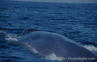 An enormous blue whale rounds out (hunches up its back) before diving.  Note the distinctive mottled skin pattern. Open ocean offshore of San Diego, Balaenoptera musculus