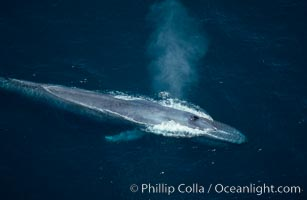 Blue whale, blowhole open, Balaenoptera musculus