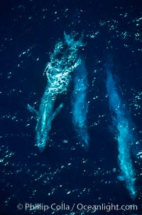 Four blue whales (including calf) socializing,  Baja California (Mexico), Balaenoptera musculus