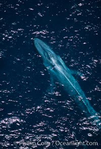 Adult blue whale surfacing,  Baja California (Mexico), Balaenoptera musculus