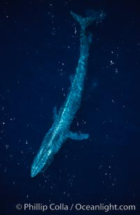Blue whale swims at the ocean surface in the open ocean, aerial view, Balaenoptera musculus