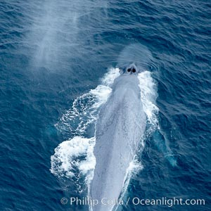 Blue whale, swimming through the open ocean, Balaenoptera musculus, La Jolla, California