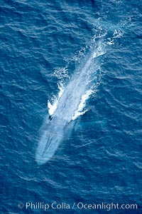 Blue whale.  The entire body of a huge blue whale is seen in this image, illustrating its hydronamic and efficient shape, Balaenoptera musculus, La Jolla, California