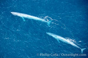 Blue whales, two blue whales swimming alongside one another. La Jolla, California, USA, Balaenoptera musculus, natural history stock photograph, photo id 21305
