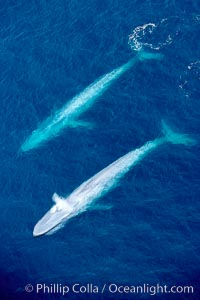 Image 21308, Blue whales, two blue whales swimming alongside one another. La Jolla, California, USA, Balaenoptera musculus, Phillip Colla, all rights reserved worldwide.   Keywords: above:aerial:aerial photo:animal:animalia:balaenoptera:balaenoptera musculus:balaenopteridae:baleine bleue:ballena azul:big:blue:blue rorqual:blue whale:blue whale aerial:california:cetacea:cetacean:chordata:creature:endangered:endangered threatened species:enormous:great blue whale:great northern rorqual:huge:la jolla:large:mammal:mammalia:marine:marine mammal:musculus:mysticete:mysticeti:nature:ocean:over:pacific:pacific ocean:rorqual:rorqual bleu:san diego:sea:sibbald's rorqual:sulphur bottom whale:threatened:usa:vertebrata:vertebrate:whale:wild:wildlife.