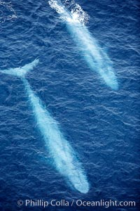 Blue whales, two blue whales swimming alongside one another, Balaenoptera musculus, La Jolla, California