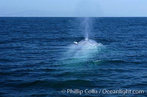 An enormous blue whale is stretched out at the surface, resting, breathing and slowly swimming, during a break between feeding dives. Open ocean offshore of San Diego, Balaenoptera musculus
