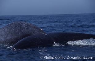 Blue whale fluke,  Baja California (Mexico), Balaenoptera musculus