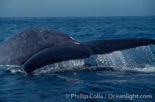 Blue whale fluking up (raising its tail) before a dive to forage for krill,  Baja California (Mexico), Balaenoptera musculus