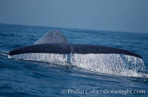 Blue whale fluking up, raising its tail, before a dive in the open ocean, Balaenoptera musculus