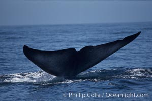 Blue whale, raising fluke prior to dive, Baja California, Balaenoptera musculus