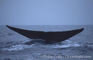 Blue whale, fluke, Mexico., Balaenoptera musculus, natural history stock photograph, photo id 06451