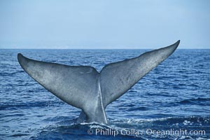 Image 07558, An enormous blue whale raises its fluke (tail) high out of the water before diving.  Open ocean offshore of San Diego. San Diego, California, USA, Balaenoptera musculus