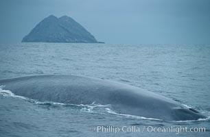 Blue whale rounding out at surface, North Coronado island in background. Coronado Islands (Islas Coronado), Baja California, Mexico, Balaenoptera musculus, natural history stock photograph, photo id 02224