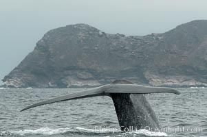 A blue whale raises its fluke before diving in search of food.  The blue whale is the largest animal on earth, reaching 80 feet in length and weighing as much as 300,000 pounds.  North Coronado Island is in the background, Balaenoptera musculus, Coronado Islands (Islas Coronado)
